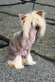 Shy Chinese Crested Dog. Adorable Chinese Crested Hairless dog stock photos