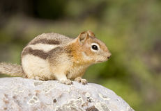 Shy chipmunk Stock Photos