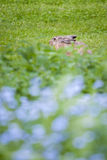 Shy city rabbit hiding Stock Images