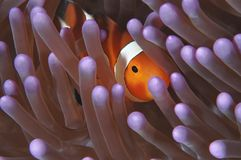 Shy Clown. This image of brightly-colored anemonefish (clownfish) hiding in the purple tentacles of it's anemone host was taken while diving in West Papua stock image