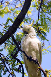 Shy cockatoo. Sitting on a tree Royalty Free Stock Images