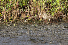Shy Common Snipe. A shy common snipe walk at the swamp site looking for foods Stock Photo