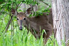 Shy but Curious Deer. This doe was quite curious, but naturally too shy to come any closer Stock Image