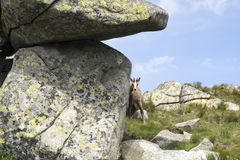 Shy and curious young tatra chamois peeking around the rock stock image