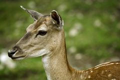 Shy deer /2 Royalty Free Stock Images