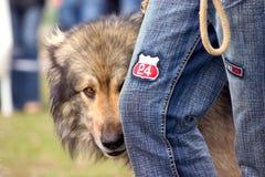 Shy Dog. A dog peeking behind owner's leg Royalty Free Stock Photography
