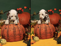 Shy dog puppy on halloween pumpkin Royalty Free Stock Photography