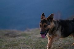 Shy dog walking in mountains stock photos