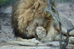 A shy dominant male lion. A dominant male lion with a beautiful mane appears shy with his paw over his face stock image