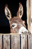 Shy Donkey. Look out of his Stable Royalty Free Stock Image