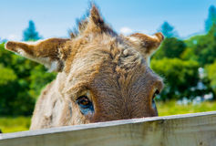 Shy Donkey Behind A Wooden Fence Royalty Free Stock Photos