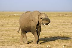 Shy elephant. A shy elephant hiding behind his trunk Royalty Free Stock Photography