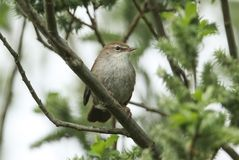 A shy and elusive Cetti`s Warbler Cettia cetti perched on a branch in a tree. royalty free stock photo