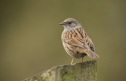 A shy and elusive Dunnock, Prunella modularis, perched on a post. Stock Photo