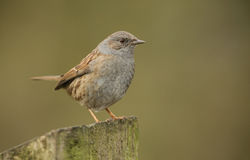 A shy and elusive Dunnock, Prunella modularis, perched on a post. Stock Photos