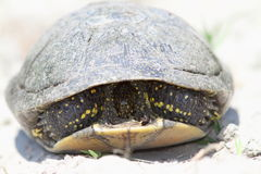 Shy european pond turtle Stock Photos