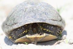 Shy european pond turtle Stock Photos