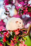 Shy fancy rat sitting in rose apple blossom  washing itself Royalty Free Stock Image
