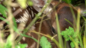Shy fawn stock video footage