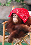 A Shy Female Orangutan Royalty Free Stock Photos