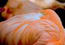 Shy flamingo Royalty Free Stock Photography