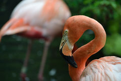 A shy flamingo. A close up shot of a shy Flamingo Royalty Free Stock Images