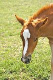 Shy foal waiting for its mother Royalty Free Stock Images