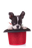 Shy French bulldog in a hat Royalty Free Stock Photography