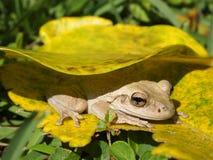 Shy frog Stock Image
