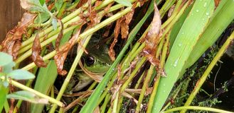 Shy Frog royalty free stock photos