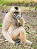 Shy gibbon Stock Photos