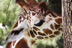 Shy Giraffe Stock Photo