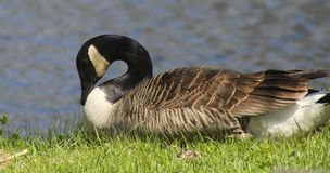 Shy goose Royalty Free Stock Photography