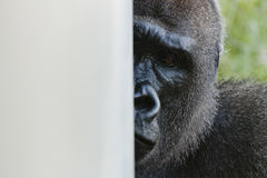This Shy Gorilla Peers Around the Wall Watching Me Stock Images
