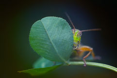 Shy grasshopper. Hiding behind a leaf Royalty Free Stock Photography