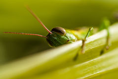 Shy grasshopper Stock Photography