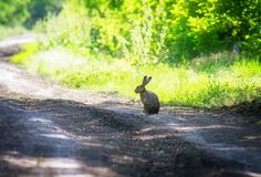Shy hare in the forest. royalty free stock photos