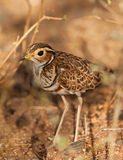 The shy Heuglin's Courser Stock Images