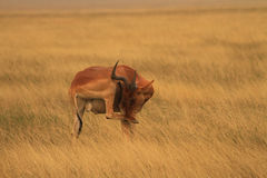 Shy Jackson's Hartebeest Stock Photo