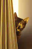Shy Kitten. A shy kitten hided behind a curtain at sunset Stock Images