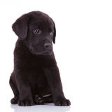 Shy labrador retriever puppy dog Stock Image