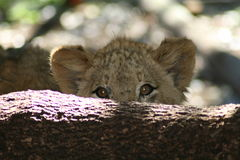 Shy lion cub. A lion cub hiding behind a tree Royalty Free Stock Photography