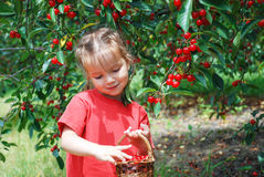 A shy little  girl in cherry garden. Shy little girl with a basket of harvest cherries in cherry garden Royalty Free Stock Images