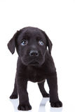 Shy little labrador puppy Stock Photography