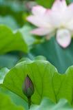 Shy Lotus stock image