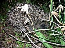 Shy lovely urchin hedgehog stock photos