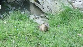 A shy marmot in the mountains stock video footage