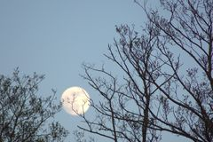 Shy moon for branches Royalty Free Stock Image