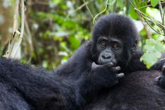 Shy mountain gorilla Stock Photos