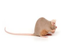 Shy mouse. Little mouse washing its body Royalty Free Stock Images